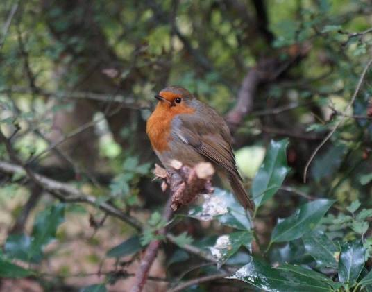 A robin photographed by Aimee Winkfield